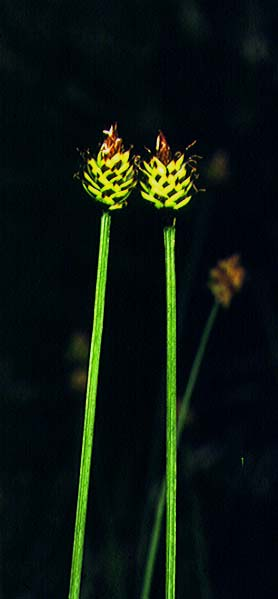 Carex capitata