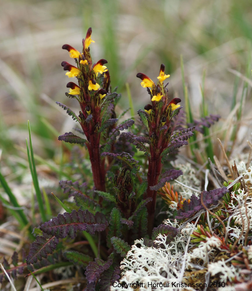Pedicularis flammea